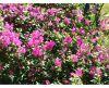 buganvillea-fiori