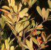 magnoliastellata